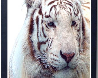 Disappearing Tigers - Poster on Photographic Stock