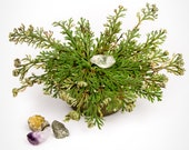 Resurrection Plant with Hidden Crystal - Rose of Jericho - Dino Plant