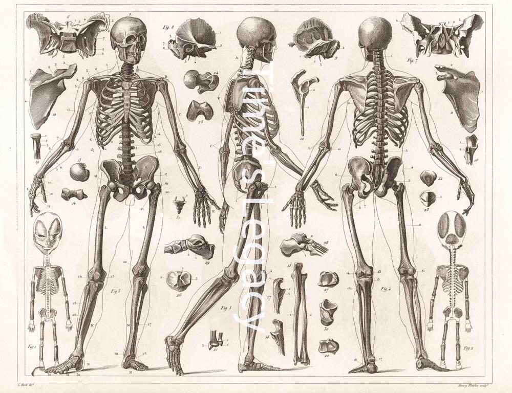 Vintage anatomische Darstellung menschliche Skelett Knochen | Etsy