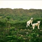 White Ones, original fine art photography, print, landscape, 8x12, highland, scotland, mountain, hill, lamb, young, animal, green, nevis