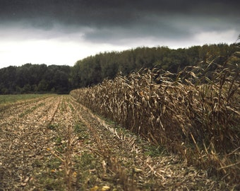 Corn Field, original fine art photography, print, landscape, nature, 8x12, hungary, makó, nature, alföld, crop, dry, agriculture