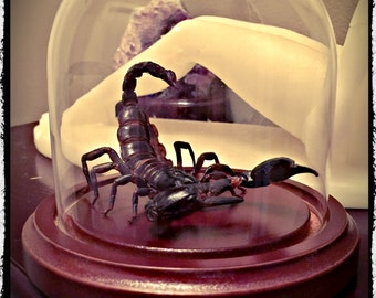 """Preserved Scorpion """"Attack Pose"""" in glass Dome -  Free Shipping"""