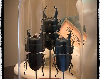 Fighting stag beetles - in a glass dome