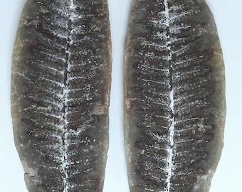 Fossil Fern; Pecopteris Leaf; Grundy County; Illinois