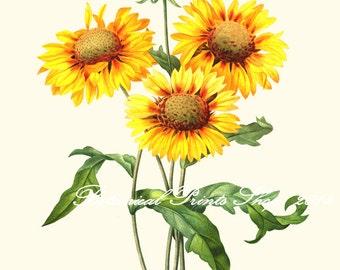 "Sunflower Print. Yellow Wall Art. Botanical Print. Gaillardia. 5x7"", 8x10"", 11x14"", 13x19"""