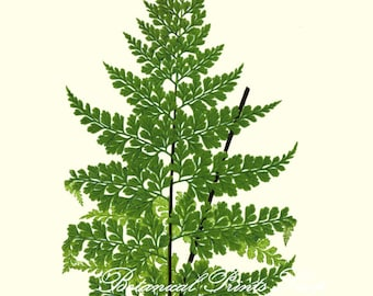 "Botanical Print. Fern Print #15. Asplenium. Fern Wall Art. Fern Picture. Ferns Print 8x10"""