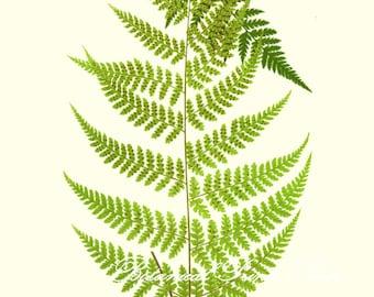 "Botanical Print. Fern Print No.1. Hypolepis. Ferns. Fern Wall Art. Fern Picture. 8x10"""