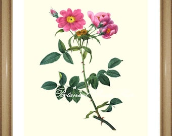 """Rose Print No.10. Rose Pictures. Flower Pictures. Rose Art. 8x10"""" 11x14""""."""