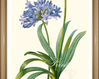 "Agapanthus Print. Botanical Print. Blue Flower Print. Botanical Wall Art. 5x7"" 8x10"" 11x14"" 13x19"""