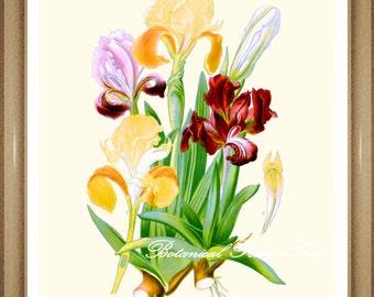 "Dwarf Iris Print. Botanical Print. Botanical Wall Art. 8x10"" 11x14"""