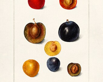 Pear Tree 1898 Fine Art PrintPoster by Deborah Griscom Passmore Pyrus communis