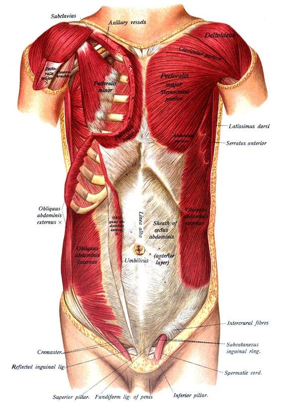 Muskeln der Brust & Bauch Sobottas menschliche Anatomie. | Etsy