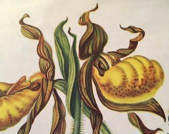 Yellow lady's slipper, antique botanical litho print, 1954