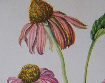 Purple Coneflower Echinacea purpurea Vintage illustration flower print