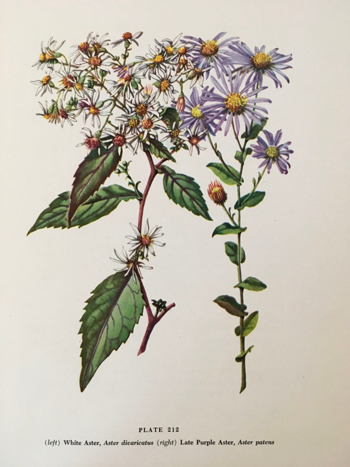 White Aster Aster Divaricatus And Late Purple Aster Aster Etsy