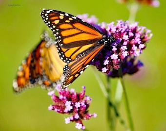 Butterflies Monarchs Coasters - Set/4