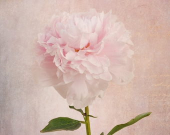 Peony Photography Print, Floral Art Print, Botanical Wall Art, Pink Wall Art, Gifts under 100
