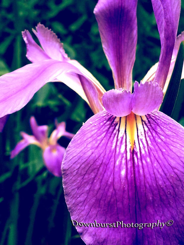 Lily Iris Fleur De Lis Flower Purple Flower Purple Lily Etsy