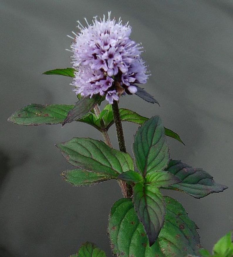 2 Wild Watermint Winter Hardy Koi Pond Bog Water garden Plants Aqatic Mint Herbal Tea