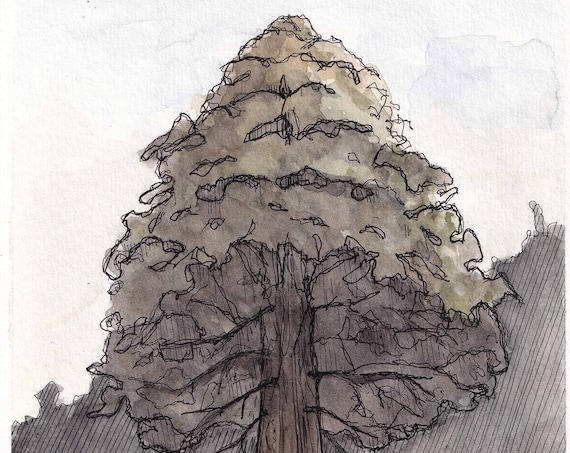 METHUSELAH REDWOOD TREE - Santa Cruz Mountains, California, Forest, Ink & Watercolor Painting, Drawing, Nature Sketchbook, Art, Drawn There