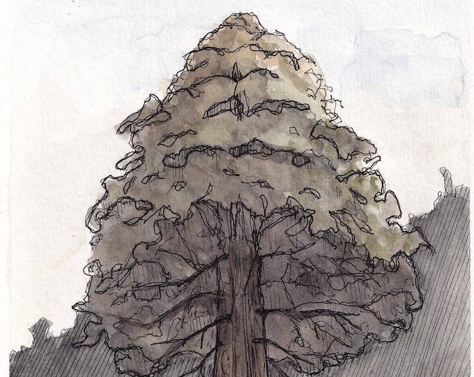 METHUSELAH REDWOOD TREE - Santa Cruz Mountains, California, Forest, Ink & Watercolor Painting, Drawing, Nature Sketchbook, Art, Drawn There
