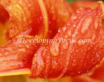 Orange Day Lily, Roadside Lily, Tiger Lily Petals with Raindrops Extreme Close Up Flower Photography Art, Customizable Instant Download
