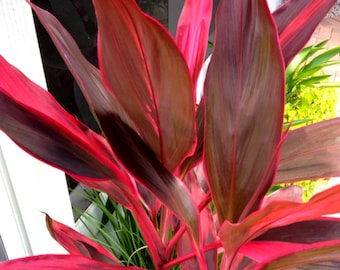 Hawaiian Ti Plant Logs Live Tropcial Ti Plants Red Leaves - 1 Pack 2 logs