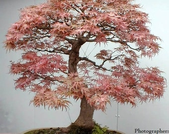 Bonsai Seeds   Red Japanese Maple Seeds (20+ pack)   Acer palmatum   Guaranteed to grow  