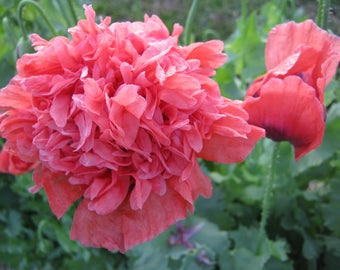Tall red poppy seeds 500 for flowers etsy frou frou coral poppy flower seeds grow all soil types cottage garden delight mightylinksfo