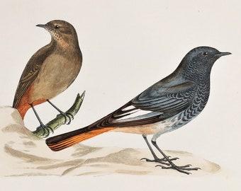 American redstart bird art bird drawing songbird ornithology 5x7 print