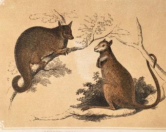 Coloured Woodblock Engraving Home Decor c.1850 Squirrel Opossum /& Kangaroo Rat Antique Animal Print Wall hanging
