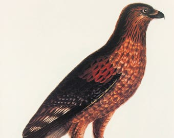 Large Vintage Bird Print - Red Shouldered Hawk - 1970s French-Japanese Book Plate, Colour Bird Print
