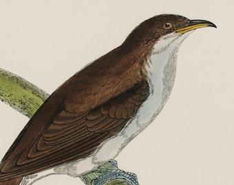 Yellow Billed Cuckoo Print Original 1860s Antique Hand Coloured Bird By Reverend F O Morris