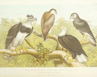 Antique Print de l oiseau, l aigle de mer, harpie, Caracara - orfèvre,  Cuvier, années 1840 Antique victorien gravure couleur 708b6270f92