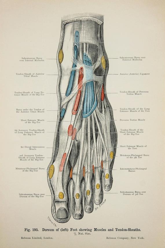 Füße Knöchel Sehnen Arterien Venen Nerven c.1900 | Etsy