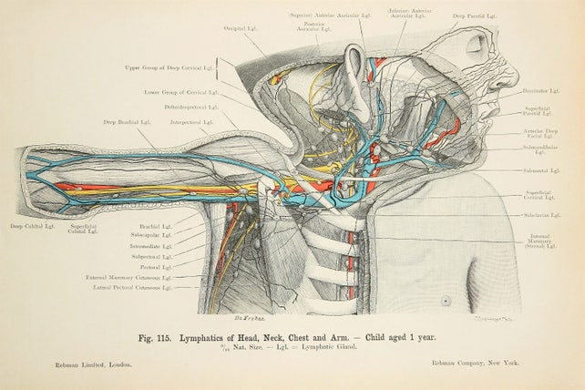 Lymphsystem Nerven Venen Arterien Lunge Brustfell c.1900 | Etsy