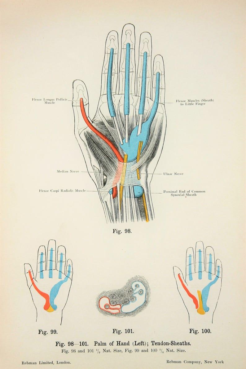 Hand Sehnen Nerven Arterien Venen Muskeln C1900 Etsy