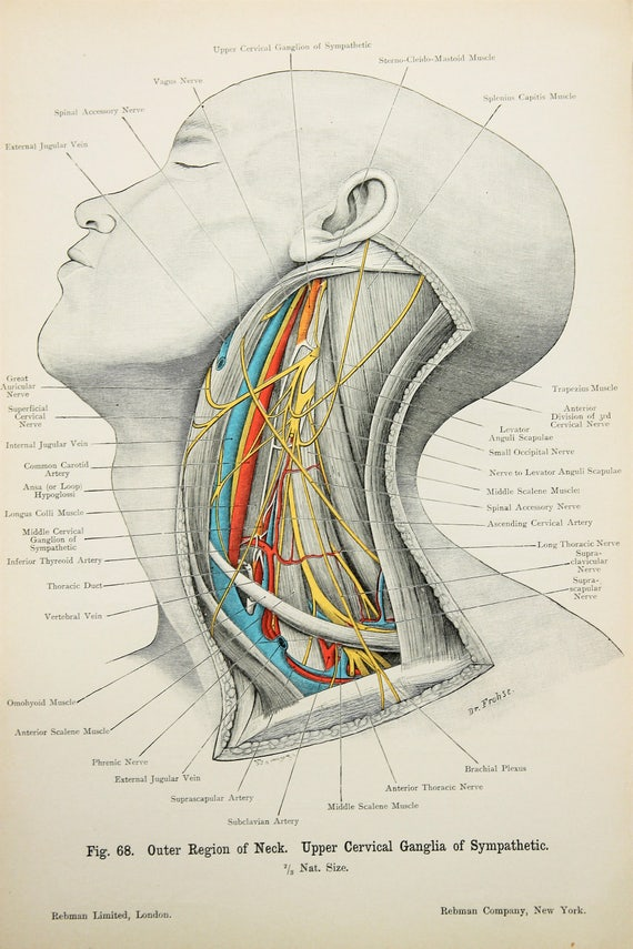 Hals Nerven Arterien Venen c.1900 doppelseitig antike | Etsy