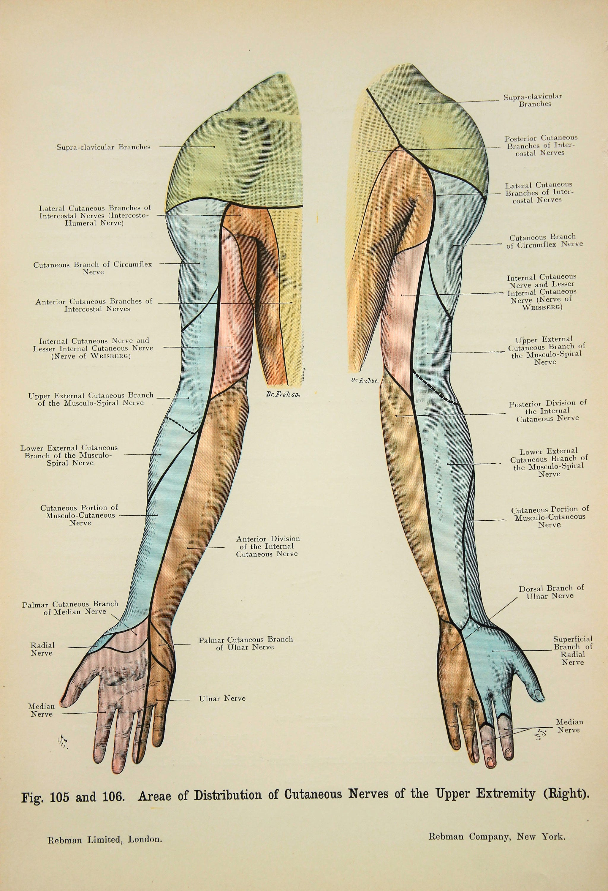 Arms Nerves Cross Section Bones Muscles Nerves C1900 Etsy