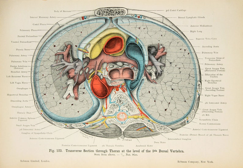 Abdomen Thorax Cross Section C1900 Double Sided Antique Etsy