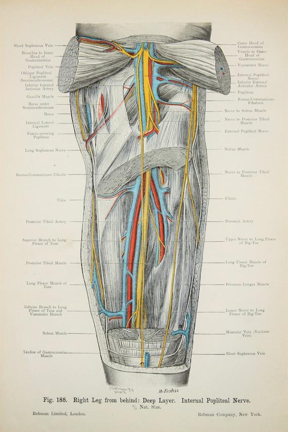 Bein Muskeln Arterien Venen Nerven c.1900 doppelseitig | Etsy