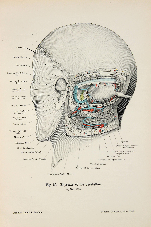 Skull Anatomy Cerebellum Ears Hearing C1900 Double Sided Etsy