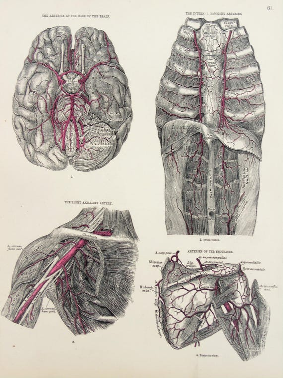 Arteries Of The Brain Shoulders Chest Veins Aorta 1880s
