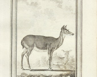 White Tailed Deer Print - c. 1800 Antique Georgian Copper Plate Engraving, Black and White,