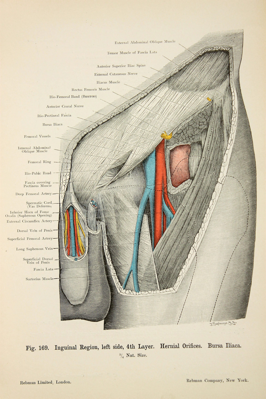Atemberaubend Arterie Bein Anatomie Fotos - Menschliche Anatomie ...