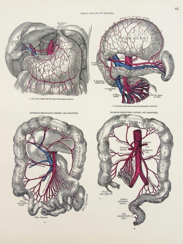 Arterien von Magen Darm Bauch Venen Aorta 1880er Jahren | Etsy