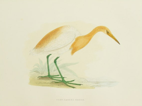 Cattle Egret Of Buff Heron Print Original 1860 Antique Hand Coloured Bird Print By Reverend F O Morris Can Be Mounted If Required