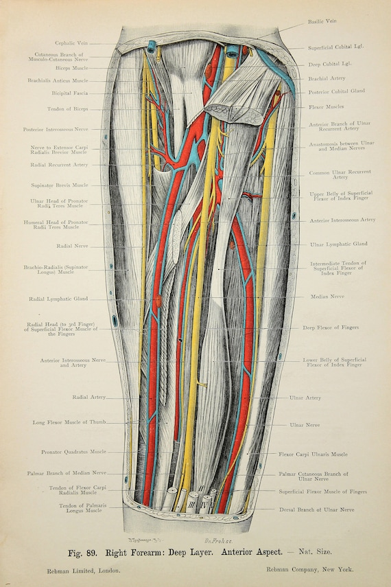 Arm Nerves Arteries Veins Muscles C1900 Double Sided Etsy