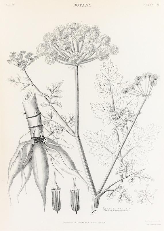 Hemlock Water Dropwort Antique Flower Print Hulme Botany Print White Flowe Country Decor Floral Wall Art Original Botanical Litho