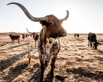 Texas Longhorn western decor, cattle photo or canvas, longhorns, longhorn canvas, western art, longhorn cow, cattle photography, cows